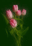 Beautiful tulip bouquet. With water drops royalty free stock photo