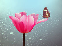Beautiful tulip with butterfly. Beautiful spring tulip with drop in rain and butterfly stock photo