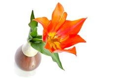Beautiful tulip Stock Images