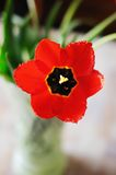Beautiful tulip close-up. Beautiful red flower (tulip) close-up Royalty Free Stock Image