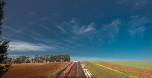 Beautiful tulip farm at the Table Cape in Tasmania stock photo