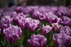 Tulip festival in Australia during blooming season Royalty Free Stock Photos