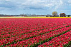 Beautiful tulip field and Dutch house Stock Images
