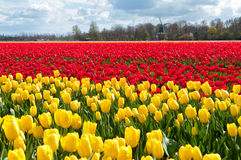 Beautiful tulip field and Dutch windmill Stock Images
