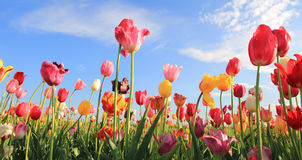 Beautiful tulip field multicolor Royalty Free Stock Image