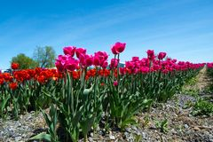 Beautiful Tulip Field Scenic Landscape Spring Background With Pink Tulips royalty free stock images