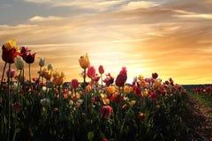 Beautiful tulip field at sunset. Beautiful blooming tulip field at sunset, springtime landscape in the evening Royalty Free Stock Photo