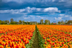 Beautiful tulip fields in Lisse in the Netherlands. This fields are near the Keukenhof and the best season for tulips are April and May royalty free stock photos