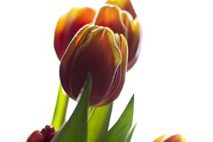 Beautiful tulip flower blooming Nature as it best. Colourful isolated flowers on a bright background.