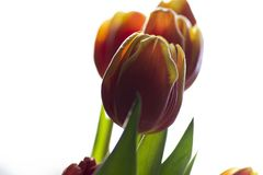 Beautiful tulip flower blooming Nature as it best. Colourful isolated flowers on a bright background. Beautiful tulip flower blooming. Nature as it best royalty free stock photo
