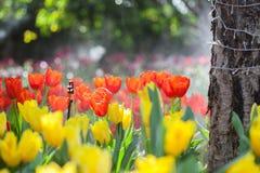 Beautiful Tulip flower Stock Images