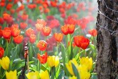 Beautiful Tulip flower Royalty Free Stock Photo