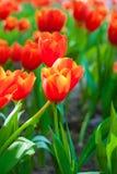 Beautiful Tulip flower Royalty Free Stock Photography