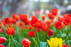 Beautiful Tulip flower Royalty Free Stock Photos