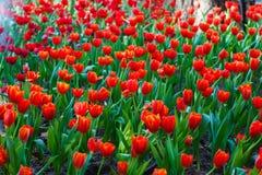 Beautiful Tulip flower Stock Photography