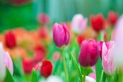Beautiful Tulip flower Stock Photos