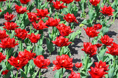 Beautiful tulip flower Royalty Free Stock Image
