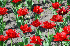 Beautiful tulip flower Royalty Free Stock Images