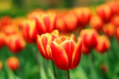 A beautiful Tulip flower in the garden royalty free stock photos
