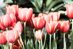 Beautiful tulip flower and green leaf background in the garden at winter or spring day. Royalty Free Stock Image