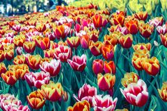 Beautiful tulip flower and green leaf background in the garden at winter or spring day. Stock Photography