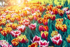 Beautiful tulip flower and green leaf background in the garden at winter or spring day. Royalty Free Stock Images