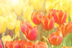 Beautiful tulip flower and green leaf background in the garden at winter or spring day. Stock Photo