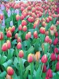 Beautiful tulip flower growing in garden Stock Photos