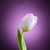 Tulip flower on purple background Royalty Free Stock Images
