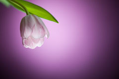 Tulip flower on purple background Stock Photos
