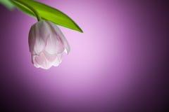 Tulip flower on purple background Stock Photos