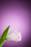Tulip flower on purple background Royalty Free Stock Photos