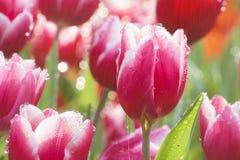 Beautiful  tulip flower in rain Stock Photos
