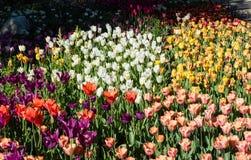 Beautiful tulip flowerbed in springtime stock image