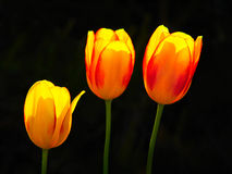 Beautiful tulip flowers. Isolated on black background, tulips in nature detail Stock Photos
