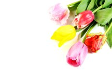 Beautiful tulip flowers Stock Image