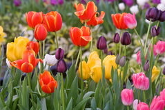 Beautiful Tulip flowers Royalty Free Stock Image