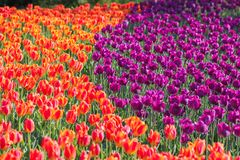 Beautiful tulip , flowers blooming in spring day. royalty free stock photos