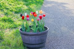 Beautiful  tulip , flowers blooming  in  spring day. Beautiful tulip , flowers blooming in spring day royalty free stock images