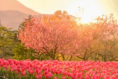 Beautiful tulip , flowers blooming in spring day with sunrise. Beautiful  tulip , flowers blooming  in  spring day with sunrise royalty free stock photo