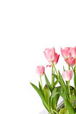 Beautiful Tulip flowers Royalty Free Stock Photos