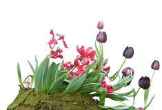 Beautiful Tulip flowers Royalty Free Stock Photo