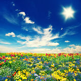 Beautiful tulip flowers field and cloudy blue sky Stock Photo
