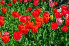 Beautiful tulip flowers in the garden stock image