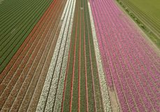 Beautiful Tulip Flowers Grow In Rural Field Of Horthern Holland,Netherlands Royalty Free Stock Photos
