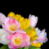 Beautiful tulip flowers isolated on black background Stock Photography