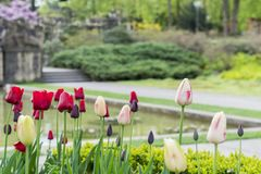 Beautiful tulip flowers in the park. Beautiful tulip flowers blooming in the park on summer in Switzerland Stock Photo