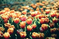 Beautiful tulip flowers scene nature background Royalty Free Stock Photos