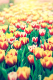 Beautiful tulip flowers scene nature background Stock Photo