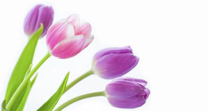Beautiful tulip flowers Stock Images
